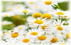 #Chamomile, it is a popular plant physician used by the ancient Greeks, Egyptians and Romans.   • Improve #mouthulcers and stomach and #intestinaldisorders. • Relief from #stomachcramps during the periods.  • Treat #fever, #cystitis, #colic and #flatulence.   Read more:- http://falcon18.com/health-blog/Best-Ingredient-And-Herbs/To-Know-About-Chamomile/Benefits-and-Advantages-of-Chamomile.html, Buy products:- http://www.falcon18.com/about-Chamomile-and-benefits-of-Chamomile.ingredient?24