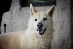 SWEET SENIOR ALDO DUBLIN, VA>>>Aldo is an adoptable Husky Dog in Dublin, VA. *Although we try to be as accurate as possible, Pulaski County Animal Shelter cannot guarantee the breed or full-grown adult size of any of the dogs or pu...