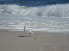 Seagull enjoying a stroll on the sand  Summer #2012  Smithpoint Beach #Longisland