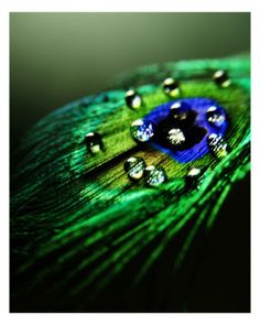 peacock feather with water droplets