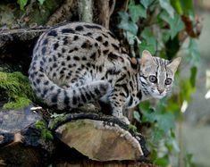 灰色から赤色にかけた色の毛皮を持ち、お腹の部分は真っ白または明るい色になっている。実は、ベンガルヤマネコは家猫と交配させることで、フレンドリーでとても美しい「ベンガル」という品種を生み出すことに成功した初のヤマネコでもある。