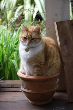 "* * CAT THOUGHT: "" A pot just one size bigger ands I could languish in it all day."""