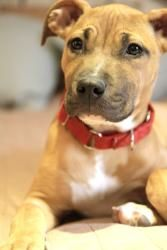 Copper is an adoptable Pit Bull Terrier Dog in Milwaukee ...