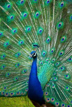 blue peacock peacocks pinte