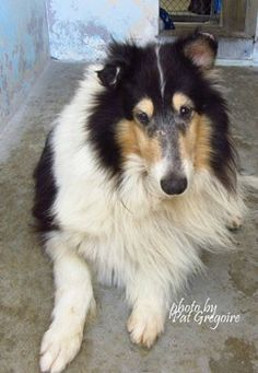 Gorgeous tricolor collie unclaimed by owner left at high kill California shelter