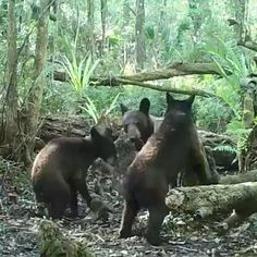 FL bear cubs check out photographer @carltonward's camera box while mama mangles one of the flashes. Carlton's passion for Florida wildlife led to the creation of the @fl_wildcorridor. Follow @carltonward & check out the amazing wildlife pics he takes in person & through his camera boxes that have captured beautiful images of Florida panthers, bobcats, deer, alligator, bear, coyote & more. We donate part of our proceeds to the FWC to help #keepflwild ☀️ #wildlifewednesday #sunshinestategoods…