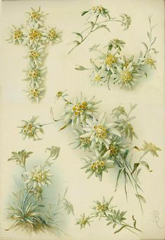lith edelweiss by janwillemsen, via Flickr