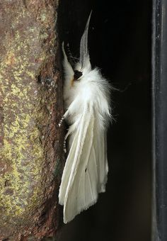 White Virginian tiger moth (Spilosoma virginica) seems like the moth form David Bowie would take!