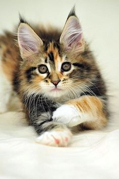Maine Coon Kitten she is beautiful!!!!!