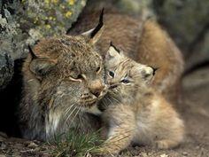 Magicalnaturetour Photographer Norbert Rosing Lynx Lynx Eurasian Lynx Iberian Lynx
