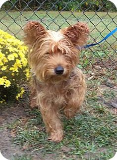 Act quickly to adopt  Pets at this Shelter may be held for only a short time.Marietta, GA - Silky Terrier Mix. Meet GIZMO SEE ALSO TUCKER a Dog for Adoption.
