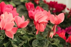 Take Mom to a GCA garden centre to spoil her with graceful Phalaenopsis and stunning Cyclamens – both in flower now! To Spoil, Rose, Garden, Flowers, Plants, Pink, Garten, Florals, Gardens