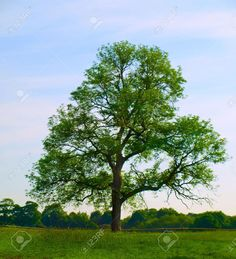 Picture of Old Oak Tree in Beautiful Green Field in British Summer Morning stock photo, images and stock photography. Sacred Groves, Waiting On God, Summer Trees, Old Oak Tree, British Summer, Green Fields, Stuff To Do, Stock Photos, Creative
