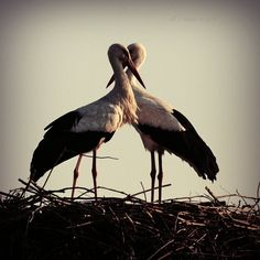 White storks - the unofficial symbol of Poland