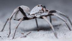 lycosidae--wolf spider