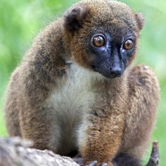 VULNERABLE: Red Bellied Lemur, another lemur from Madagascar, is threatened by habitat loss. Primates, Mammals, Zoo Animals, Animals And Pets, Cute Animals, Wild Animals, Madagascar, Baby Exotic Animals, Endangered Plants