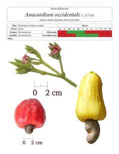 Pagina muestra Anacardium occidentale 3