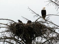 Bald Eagles ~ Wildlife sightings were common...especially eagles guarding their nests and hunting for food.