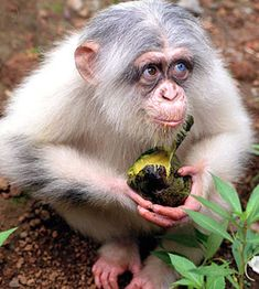 The first albino chimp ever seen.