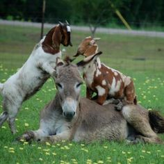 Donkey being more patient than it should.