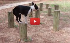 Watch this Boston Terrier Practicing Agility - Jumping on Wood Poles ► http://www.bterrier.com/?p=24651 - https://www.facebook.com/bterrierdogs
