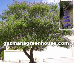 Scientific Name: Agnus-castus  Full Sun - USDA Zones 6-10  The vitex tree or shrub. Also called the chaste tree. Can grow to about 15-20ft. tall and wide. Very low water once established. Beautiful spiky dark blue blooms