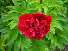 Peonies Garden, Rose, Flowers, Plants, Gardening, Compost, Balcony, Pink, Lawn And Garden