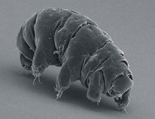 """The tardigrade, better known as the water bear or moss piglet, is a micro-animal that makes its home in just about any environment, including Antarctica and the deep sea.  Most of Core would agree that the tardigrade is the cutest of all micro-animals.  Really, anything with """"piglet"""" in its name is welcome to visit CAS119 at any time."""