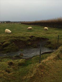 Noble sheep near Skogafoss Iceland, Sheep, October, Country Roads, Ice Land