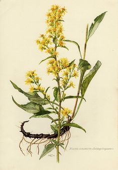 Vintage lithograph showing the European goldenrod or woundwort. Published in Germany, 1955 in the Mitteleuropäische Pflanzenwelt. Kräuter und Stauden. The size of the print is 24 * 16.5 cm (9.5 * 6.5 inches) The print itself is scanned, if there is any mark or spot they can be seen