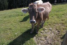 Cow, Animals, Animales, Animaux, Animal, Animais