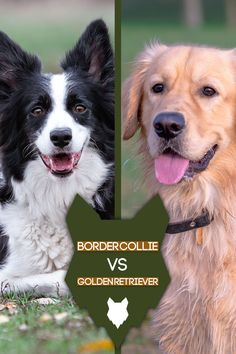 Today, we're going to take a closer look at the similarities and differences between the hardworking Border Collie, and the equally driven Golden Retriever. So let's dive into today's blogpost and we'll compare two of the most hardworking breeds in the world and what you should consider when choosing the right canine companion for your home. Best Dog Breeds, Best Dogs, Dog Breed Info, The Perfect Dog, Dog Shedding, Dog Activities, Dogs Golden Retriever, Working Dogs, Dog Harness