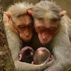 uploaded by - Sweet monkey parents …uploaded by -Sweet monkey parents .uploaded by - Sweet monkey parents …uploaded by - Wildlife category Highly Hon. Cute Baby Animals, Animals And Pets, Funny Animals, Wild Animals, Beautiful Creatures, Animals Beautiful, Pretty Animals, Animals Amazing, Photo Animaliere