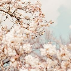 pale cherry blossoms