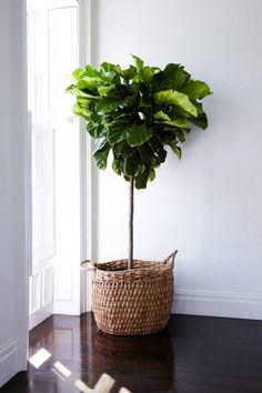 @aptsforrent Fiddle leaf fig in natural basket, just inside balcony door. Positioned closest to the corner as possible for maximum light. Anchor point for room when you walk into the front door.