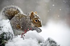 Snowy Squirrel Print by Christina Rollo.  All prints are professionally printed, packaged, and shipped within 3 - 4 business days. Choose from multiple sizes and hundreds of frame and mat options.