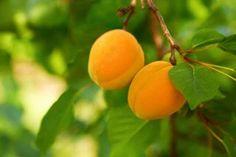 Gestatten, Marille! Kaum ein anderes Obst steht für Urlaub in Österreich wie die fruchtig-süße Marille. Wie aus den kleinen Geschmackswundern ein herrlich aromatischer Schnaps entsteht, lässt sich hier nachlesen.