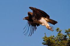 Dom Escobar: Top 10  das mais poderosas Aves de rapina do mundo...