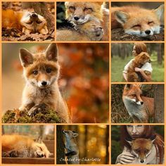 FANTASTIC FOXES MOOD BOARD ~~ BY CHARLOTTE ~~