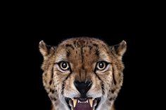 Portraits de divers animaux sauvages par le photographe Brad Wilson dans cette s