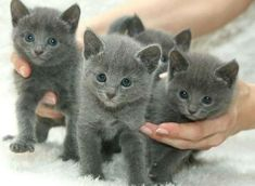 5 weeks old Russian Blue kittens Russian blue, Russian