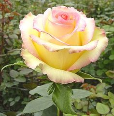 'Ambiance' Rose - bi color pale yellow and pink
