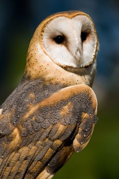 Photograph Barn Owl by Trailheads Photography