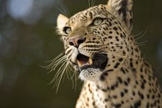 """Legadema, the leopard made famous in Beverly and Derek Joubert's  wildlife documentary, """"Eye Of The Leopard.""""  Photographed here by safari specialist Ryan Hilton in Botswana's Okavango Delta.     The film follows Legadema from birth to adulthood. """"We came across a mother leopard and her eight day-old cub, Legadema, and followed her as she grew up,"""" says Derek Joubert."""