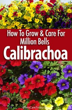 Garden Design For Kids Calibrachoa million bells a must have in the garden with its vibrant, colorful flowers by the hundreds make this a dazzling garden addition [LEARN MORE] Hydroponic Gardening, Container Gardening, Organic Gardening, Vegetable Gardening, Hydroponics, Gardening For Beginners, Gardening Tips, Million Bells Flowers, Petunia Hanging Baskets