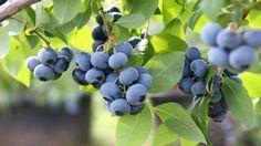 Heidelbeeren pflanzen: Die besten Tipps von Anbau bis Ernte