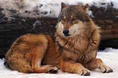Mammal Pictures: Grey Wolf