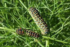 Die Raupe des Schwalbenschanzschmetterlings findet man jedes Jahr auf den Fenchelpflanzen. Natürlich nur bei biologischem Anbau! Urban Gardening, Friendship Bracelets, Insects, Plants, Caterpillar, Fennel, City Gardens, Friend Bracelets, Urban Homesteading