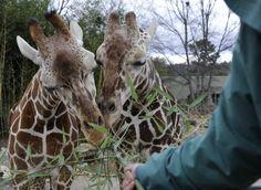 Giraffe Encounter at the Birmingham Zoo