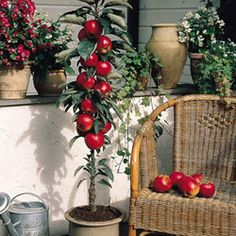 Patio Fruit Trees, Dwarf Fruit Trees, Fruit Garden, Garden Plants,  Delicious Fruit, Red A, Small Gardens, Cold Temperature, The East